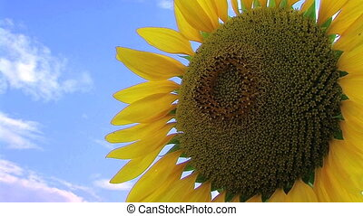 Sunflower Against Sky - Close-up of large sunflower against...