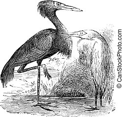 Engraving of a Reddish Egret (ardea rufa or Egretta...