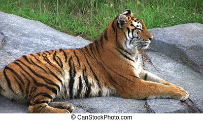 Siberian Tiger Alerted by Prey - Close-up of Siberian Tiger...