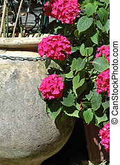 Hydrangeas - Large earthenware flower pot by a hydrangea...
