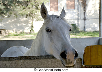 White Horse - horse with its nose sticking out of the barn