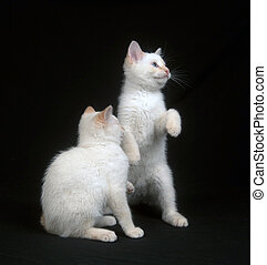 Two white kittens on black background