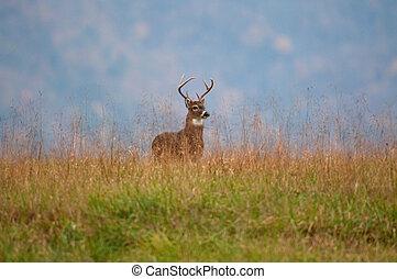 White-tailed deer buck standing on a hillside - Whitetail...