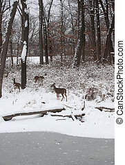 Whitetail deer in snow covered woods - a group of...