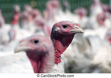 Turkey on a farm - Pasture raised white turkey on a farm in...