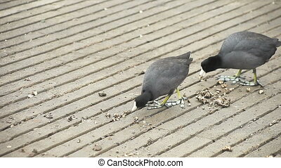 two coots eating - coots eating food left by park staff