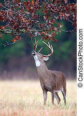 White-tailed deer buck rut behavior - White-tailed deer buck...