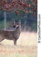 White-tailed deer buck rut behavior