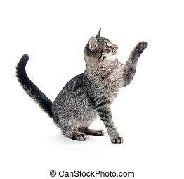Gray cat on white - Cute gray cat on white background