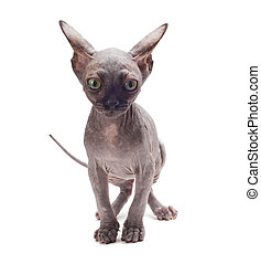 sphinx kitten - Sphinx cat