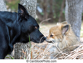 Funny Dogs Nose to Nose - A black Lab and a small Pomeranian...