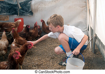 Young boy collecting eggs - A young boy gathering eggs...