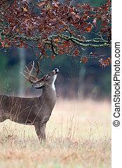 White-tailed deer buck rut behavior