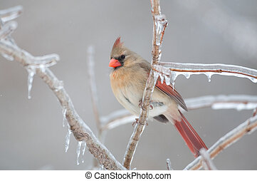 Female Northern Cardinal - Female northern cardinal perched...