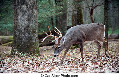 Whitetail deer buck walking in the woods - White-tailed deer...