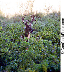 Large whitetail deer buck in the brush