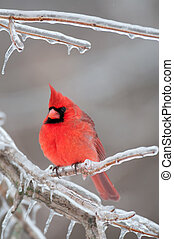 Northern Cardinal perched on branch - Northern cardinal...