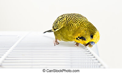 Budgie - A green budgie sitting on topp of his cadge