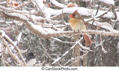 Northern cardinal in winter storm - Northern cardinal...