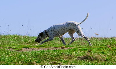 Dog walks on the nature - Beautiful purebred dalmatians...
