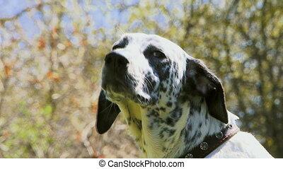 Cute dog - Beautiful purebred dalmatians walks on the green...