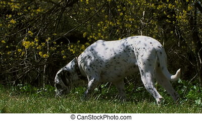 Dalmatian on the hunt