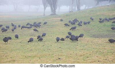 coots feeding on a foggy morning - a large group of coots...
