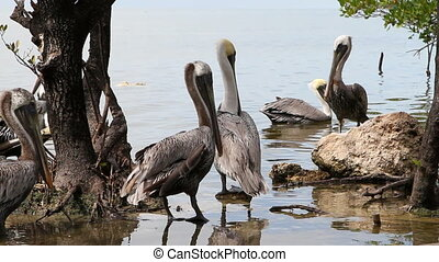 Pelicans - Flock of pelicans in mangroves of a wildlife...