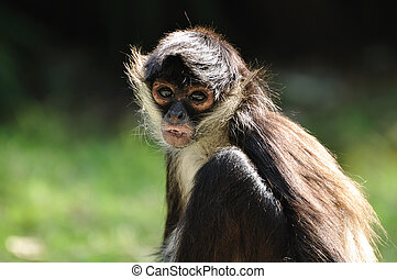 Geoffroy's Spider Monkey (Ateles geoffroyi), also known as...