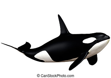 killer whale - a powerful killer whale - isolated on white
