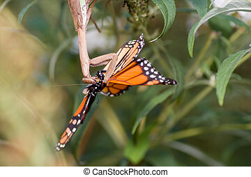 Upside down Praying Mantis Eating Monarch Butterfly -...