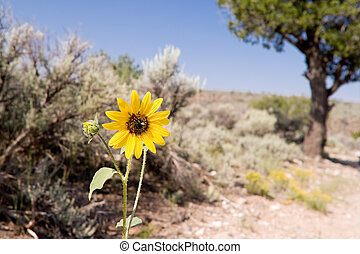 Helianthus Sunflower Sagebrush Desert New Mexico