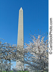 Cherry Blossoms Surrounding Washington Monument DC - Cherry...