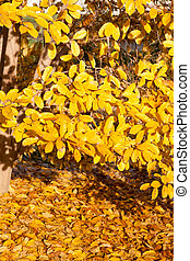 Yellow Leaves Falling Star Magnolia Tree in Autumn