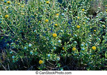Curlycup Gumweed Grindelia Squarrosa NM USA - Curlycup...