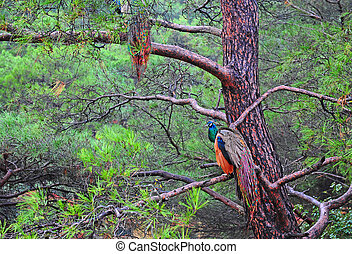 Peafowl - Peacocks Sitting On The Branches Of a Cedar