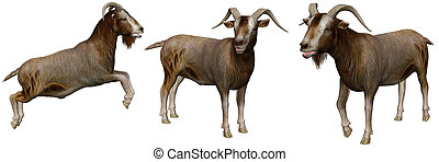 goat - a cute goat in pose - isolated on white