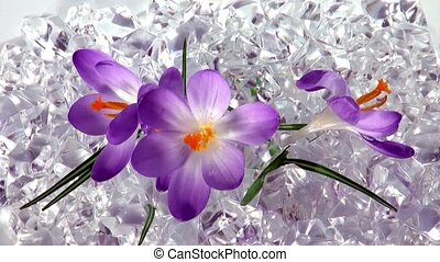 crocus flowers opening time lapse