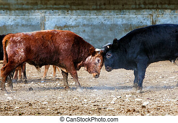 bulls fighting on a farm