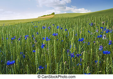 cornflower - a field strewn with blueberries