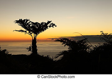 Endemic Tree ferns at dawn - Dawn breaking behind the large...