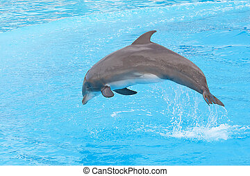 Bottlenose dolphin jumping in the aquarium show