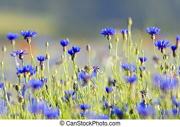 cornflower close up