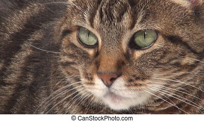 Face of an adult tabby cat - Close-up adult tabby cat and...