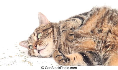 Cute adult tabby cat rolling in cat