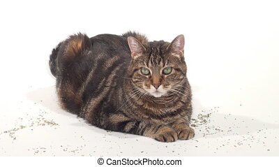 Cute adult tabby cat rolling in catnip flakes on a white...