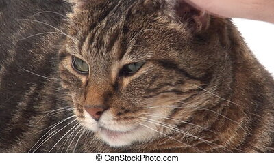 Petting adult tabby cat - A cute adult tabby cat is petted...