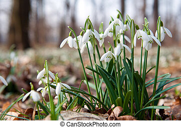 First Snowdrops - Close up of a snowdrops in a sunny day