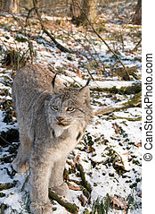 Canadien lynx - Kitten of Canadien lynx