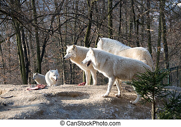 Pack of polar wolves. - Pack of polar wolves stand about...
